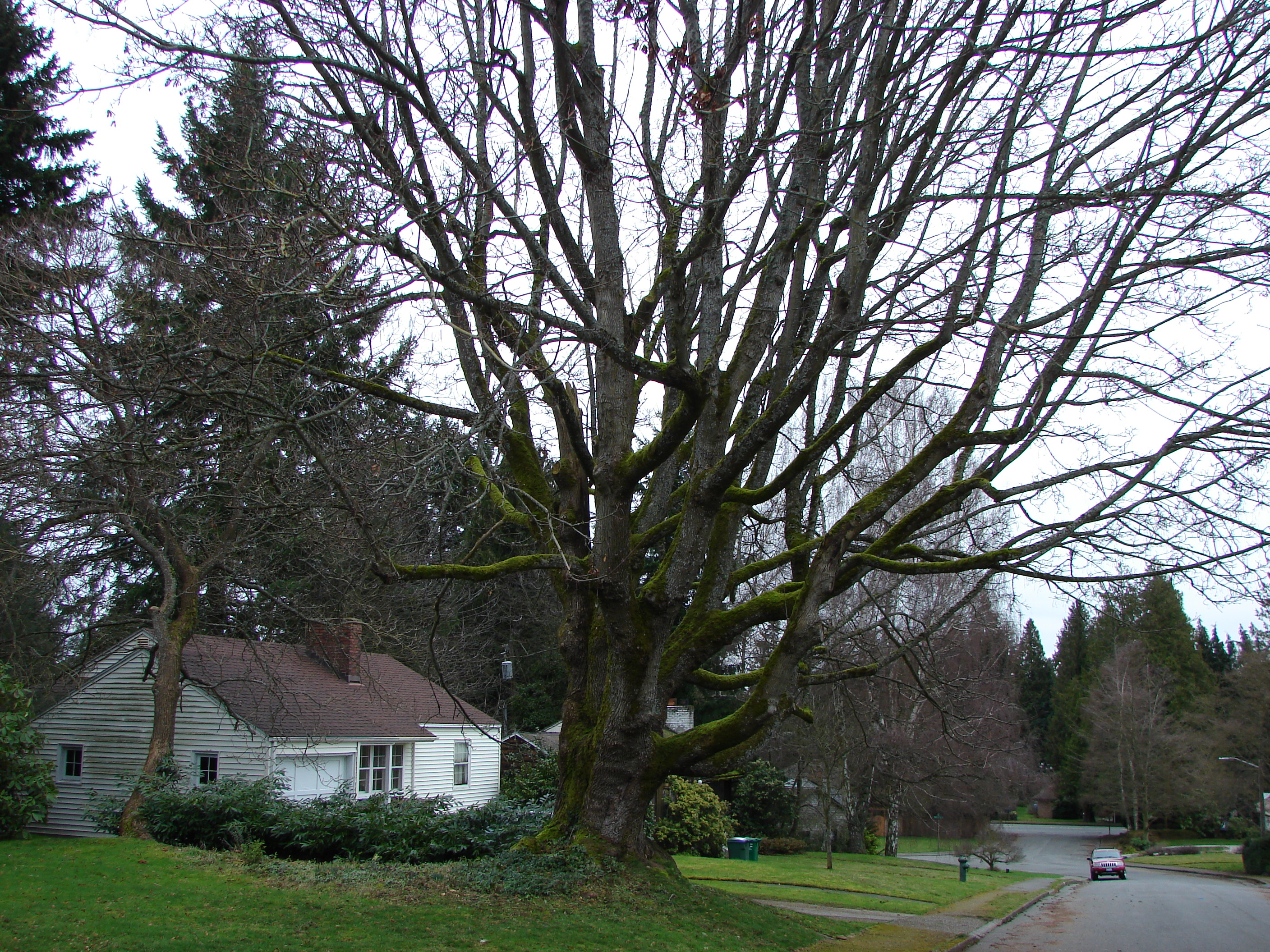 A tree in wedgwood history wedgwood in seattle history