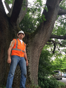 SDOT Tree Crew Supervisor Joe Markovich works on Wedgwood's scarlet oak tree