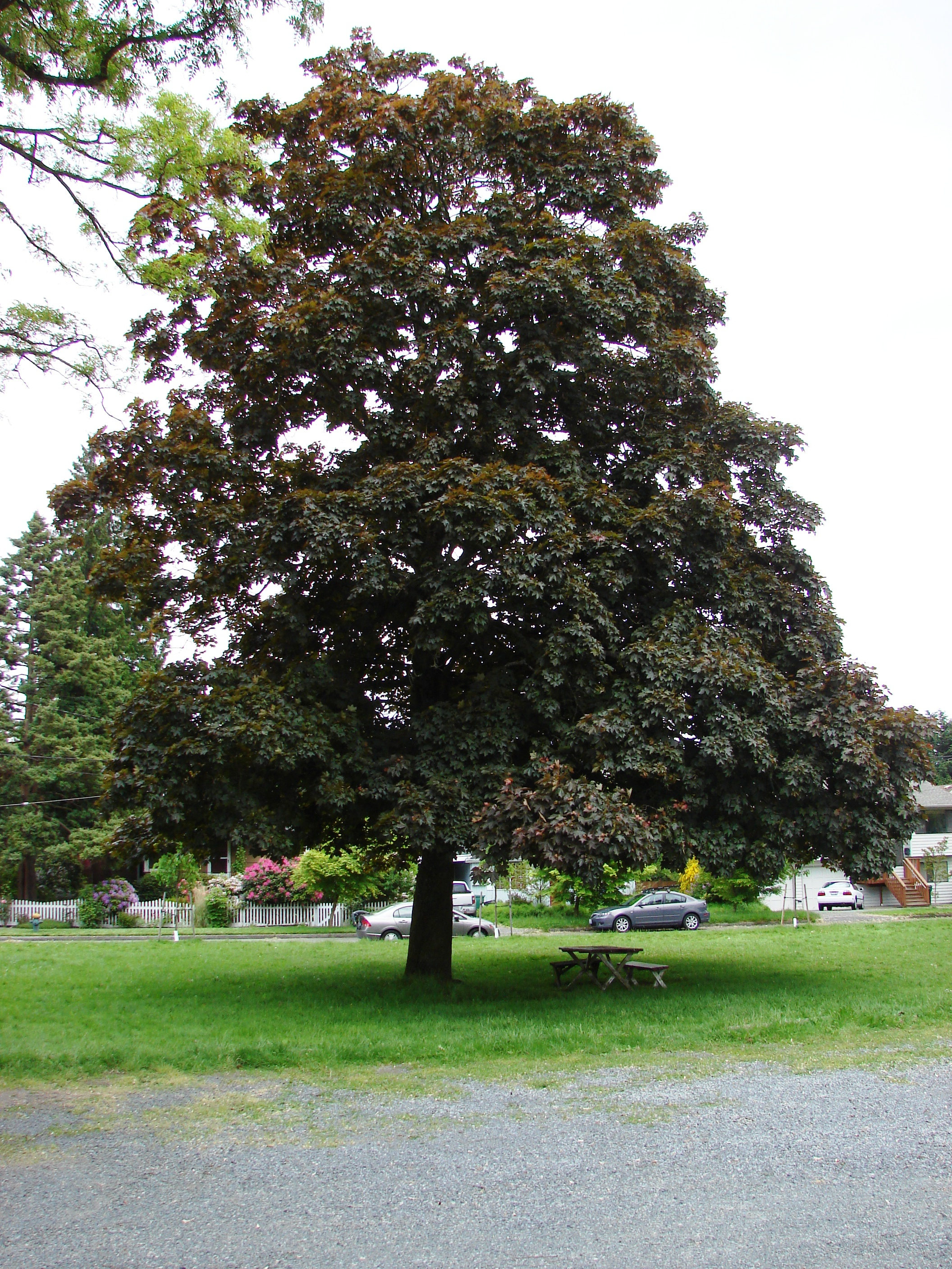 Street Trees on 35th Ave NE | Wedgwood in Seattle History