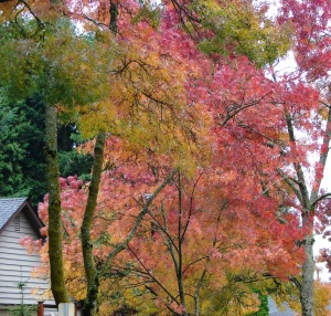 Flame Ash trees in Autumn 2014
