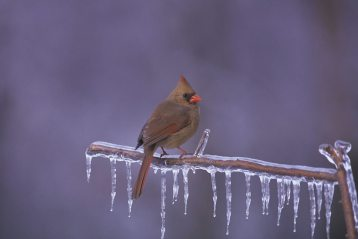 Bird on icicles by USFWS Migratory Birds