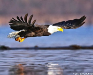 Eva the Eagle in Flight, photo by Larry Hubbell, November 25, 2013.