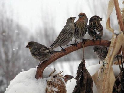 House finches in winter, feeding on sunflower seeds.  Photo by Jim Cummins on Washington Department of Fish & Wildlife.