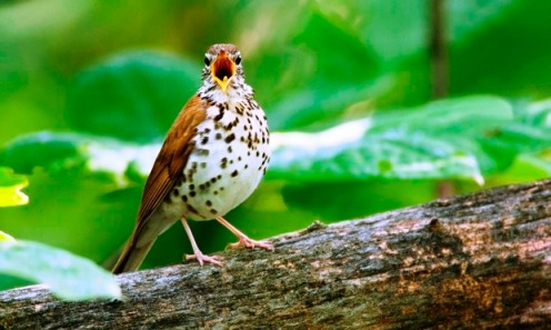 Don't forget to count me!  Photo of wood thrush by William Leaman/Alamy.