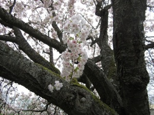 In April 2014 the Horinji Janpanese Flowering Cherry Tree at Montlake was covered in blossoms.  Photo courtesy of Arthur Lee Jacobson on Montlake.net