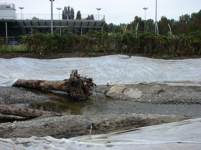 The South Branch of Thornton Creek flows eastward parallel to Nathan Hale High School and its athletic fields.  Here we see new engineered log structures and rock weirs which improve habitat for fish and help move sediment along.  The tarp areas will remain covered until new trees and ground cover can be planted, scheduled for Autumn 2014.