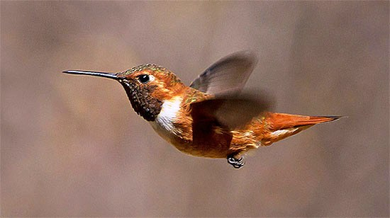 Rufous Hummingbird by Lois Manowitz via Birdshare