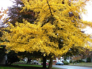 Fall color in Wedgwood on 34th Ave NE at NE 84th Street.