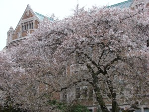 The AYPE laid the architectural and landscaping foundation for today's beautiful campus of the University of Washington in Seattle. Yoshino cherry trees in bloom on the Quad in spring 2015.