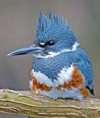 Female Belted Kingfisher bird photo by Brian E Kushner via Birdshare