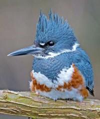 Female Belted Kingfisher bird photo by Brian E Kushner via Birdshare