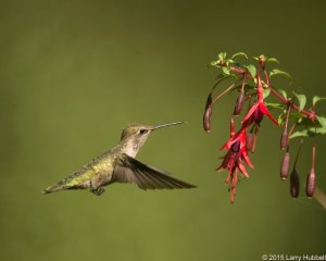 Hummingbird by Larry Hubbell August 2015 exhibit
