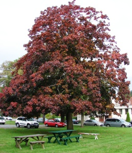 Crimson King Norway Maple on South Lot of Wedgwood Presbyterian Church