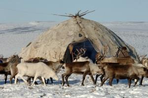 Reindeer herding in Alaska