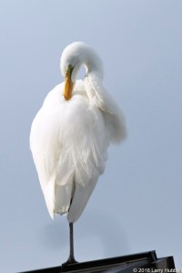 Great Egret photographed by Larry Hubbell at Portage Bay in northeast Seattle.