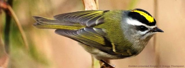 Golden-crowned Kinglet by Gregg Thompson via BirdNote
