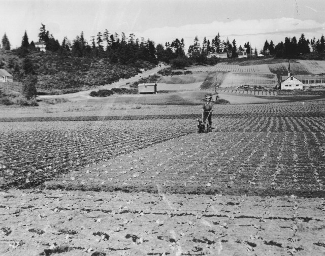 The Picardo Farm looking east toward 30th Ave NE, circa 1943.   On the left is NE 82nd which had not yet been put through as a paved street.   Photo used by permission of Picardo family; all rights reserved.