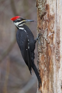 woodpecker by Audubon