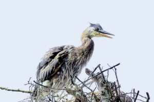Heron teenager