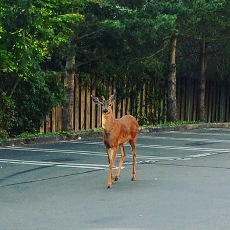 Our thanks to Kristin for this photo of a deer in the parking lot of Rite Aid at 8500 35th Ave NE in Wedgwood's main business district.