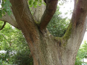 One of the bracing rods inserted all the way through heavy limbs are helping to draw them toward the center and reduce strain on the main trunk of the scarlet oak.