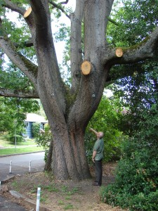 Heavy outward growing limbs of the scarlet oak have been trimmed to reduce strain on the central trunk. The bolted ends of bracing rods can be seen on either side.